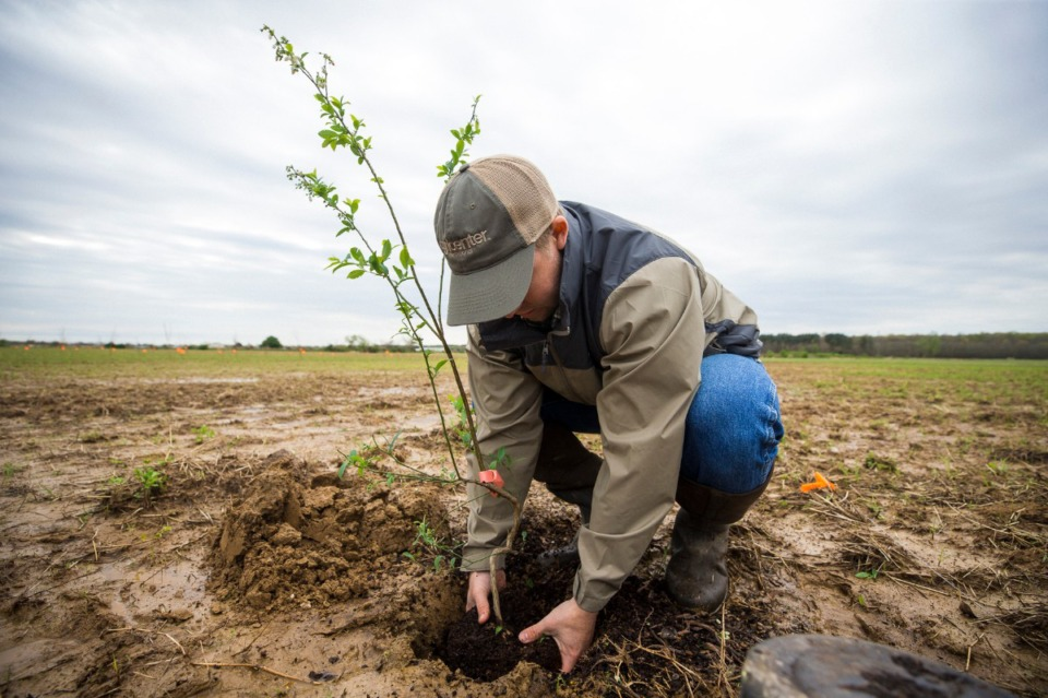 <strong>Dr. John Williams plants blueberries along fields at Shelby Farms on March 31, 2021.</strong> (Ziggy Mack/Special to Daily Memphian)