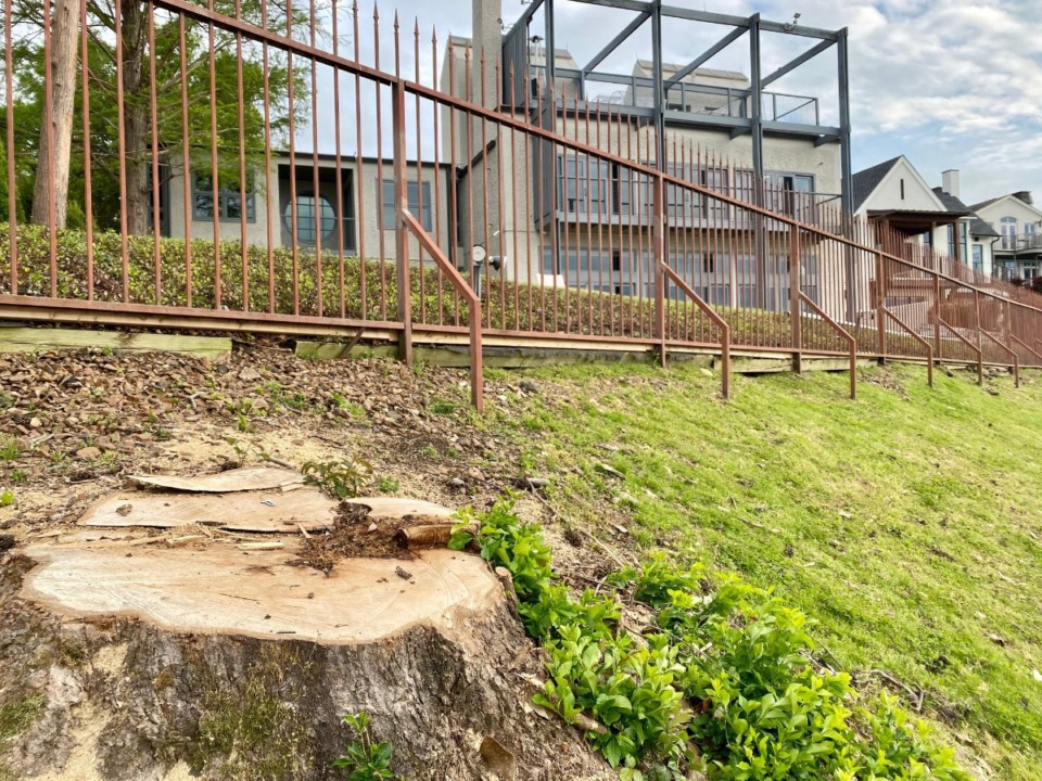 <strong>A stump is all that remains of one of the two magnolias cut down at the bluff top.</strong> (Tom Bailey/Daily Memphian)