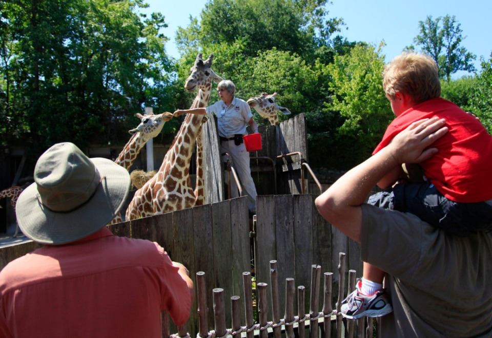 <strong>Zookeeper Carolyn Horton feeds bananas to the giraffes at the Memphis Zoo. The zoo, a&nbsp;newly certified Level 1 Arboretum, will offer walking tours&nbsp;of the 44 different species of trees on the zoo grounds on Saturday, May 1.</strong> (Daily Memphian file)