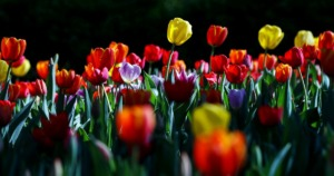 Tulips grow in a patch of light at the Dixon Gallery & Gardens March 24, 2021. (Patrick Lantrip/Daily Memphian)