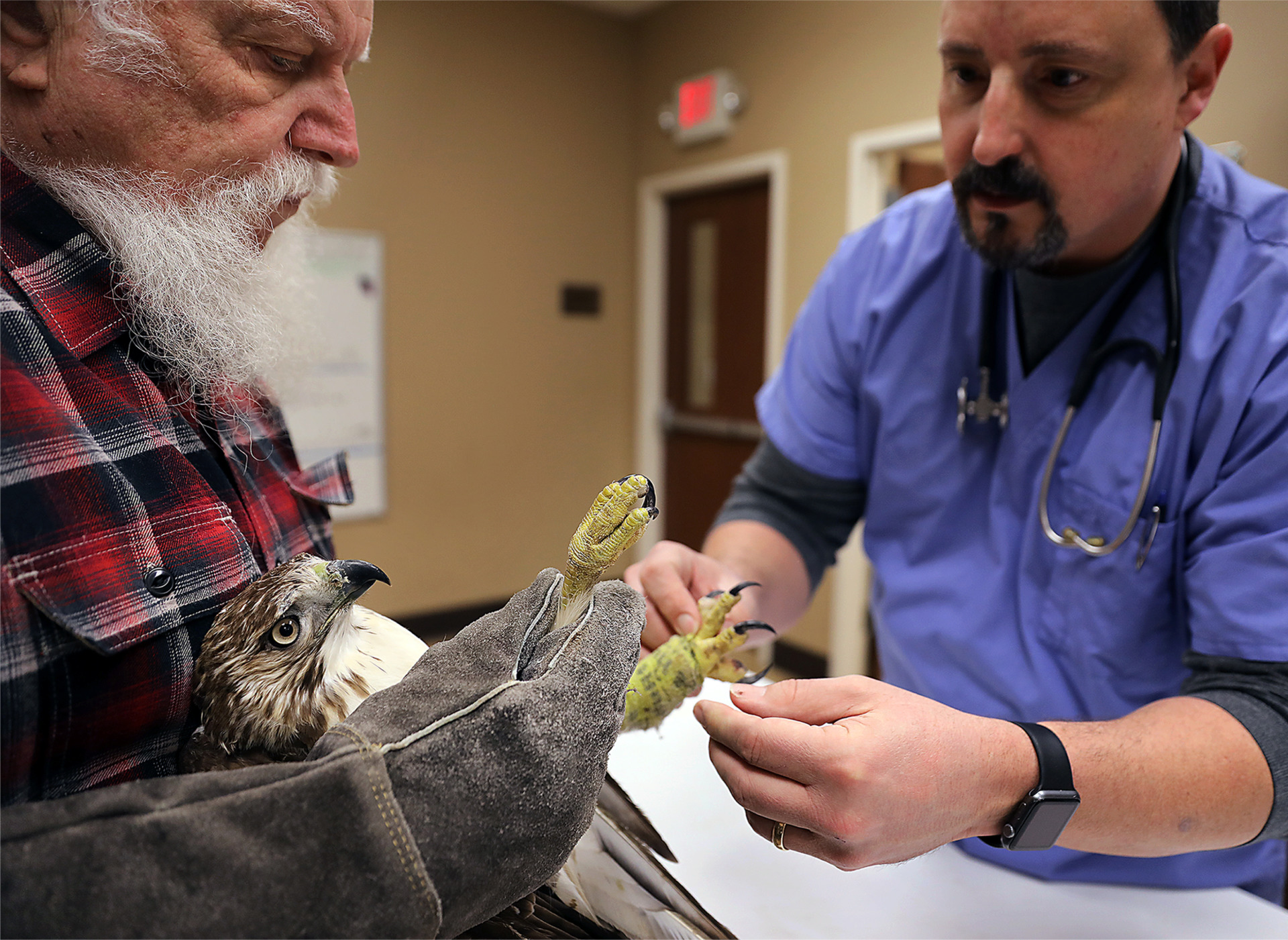 <strong>Knox Martin and David Hannon inspect an injured juvenile red tail hawk at Hannon&rsquo;s Southwind PetVax office Saturday, Jan. 26. Martin, the director of the Mid-South Raptor Center, has been bringing injured birds of prey to Hannon for over two decades.</strong> (Patrick Lantrip/Daily Memphis)