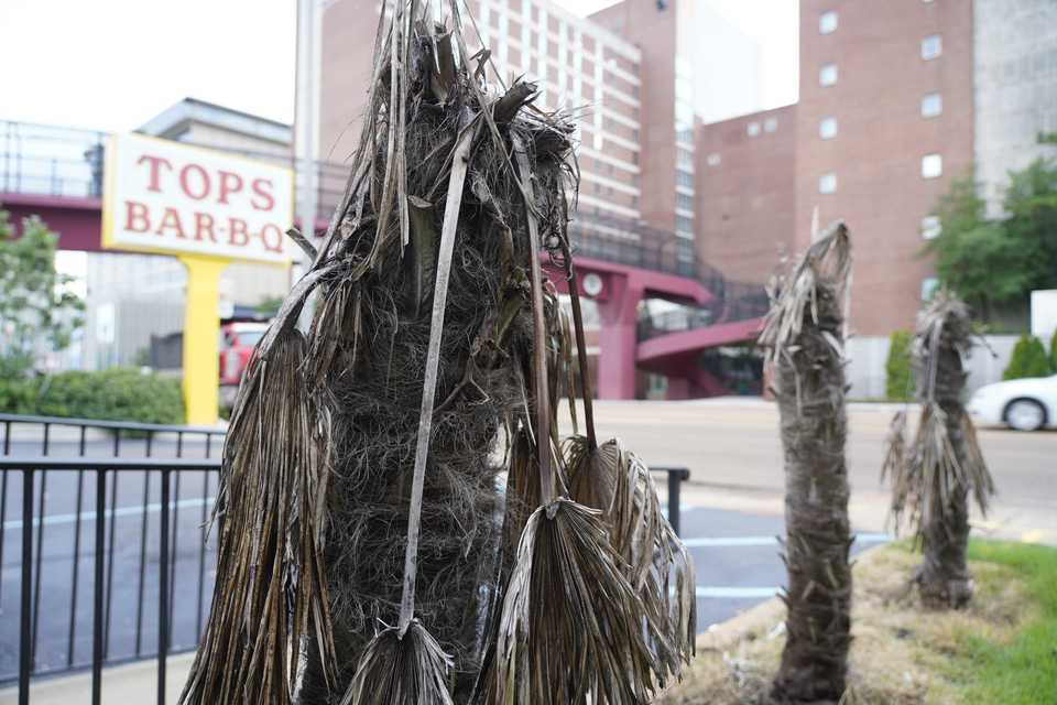 Memphis BBQ chain Tops to 'yank' out dead palm trees - The ...